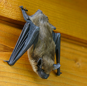 Big Brown Bat, WV