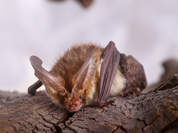 West Virginia Bat Facts